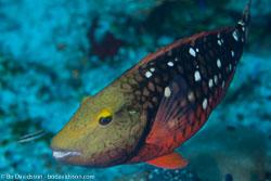BD-101208-Cozumel-2882-Sparisoma-viride-(Bonnaterre.-1788)-[Stoplight-parrotfish].jpg